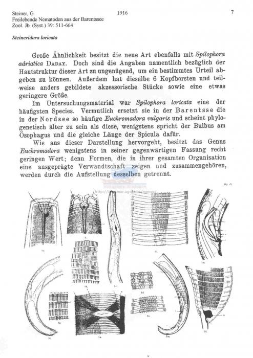 Steineridora loricata