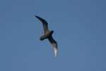 Great-winged petrel (Pterodroma macroptera)
