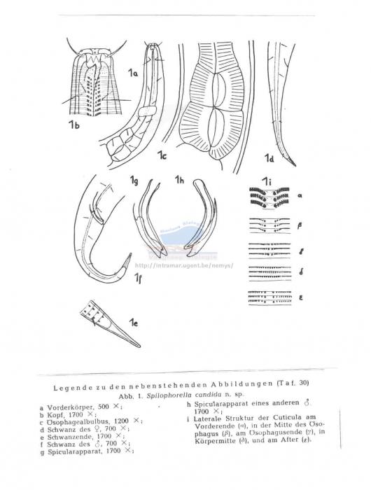 Spilophorella candida