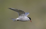 Kerguelen tern (Sterna virgata) 1