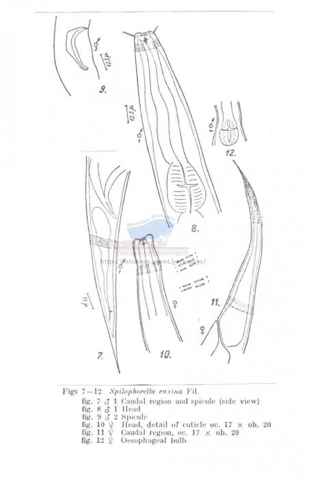 Spilophorella euxina