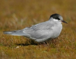 Kerguelen tern (Sterna virgata) 2