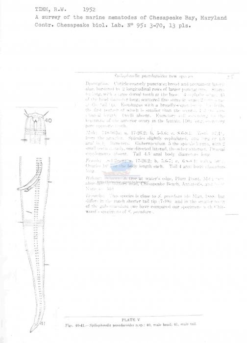 Spilophorella paradoxoides