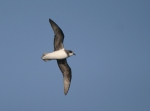 Soft-plumaged petrel (Pterodroma mollis) 1