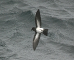 Storm-petrel sp.