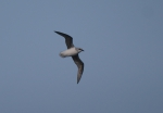 White-bellied storm-petrel (Fregetta grallaria)