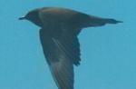 Long-tailed skua (Stercorarius longicaudus) 1