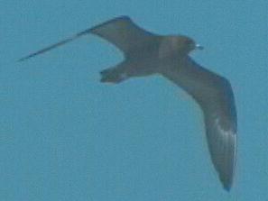 Long-tailed skua (Stercorarius longicaudus) 2