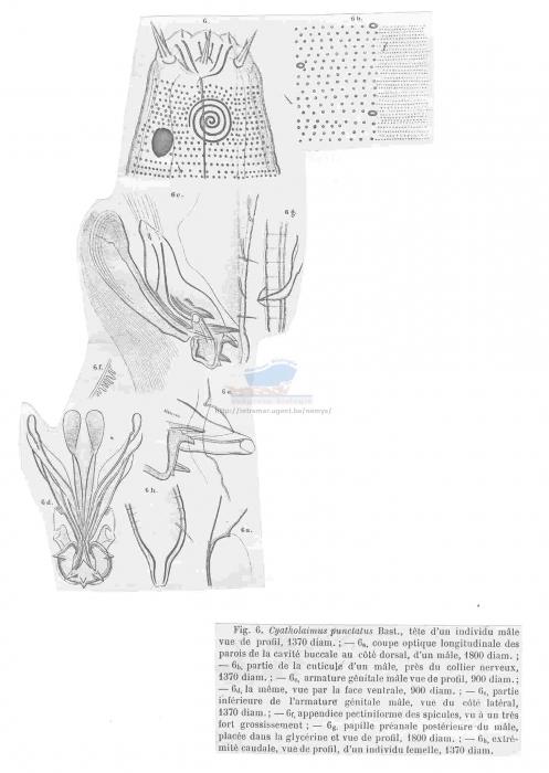 Praeacanthonchus punctatus
