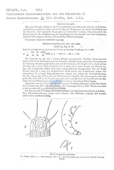 Squanema articulatum