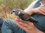 White-faced storm-petrel (Pelagodroma marina) 2