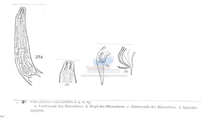 Crassolaimus conicaudatus