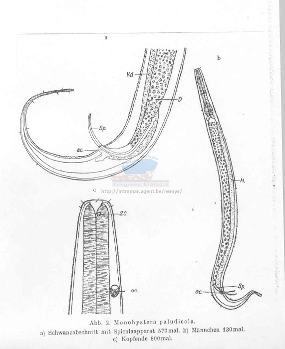 Monhystera paludicola