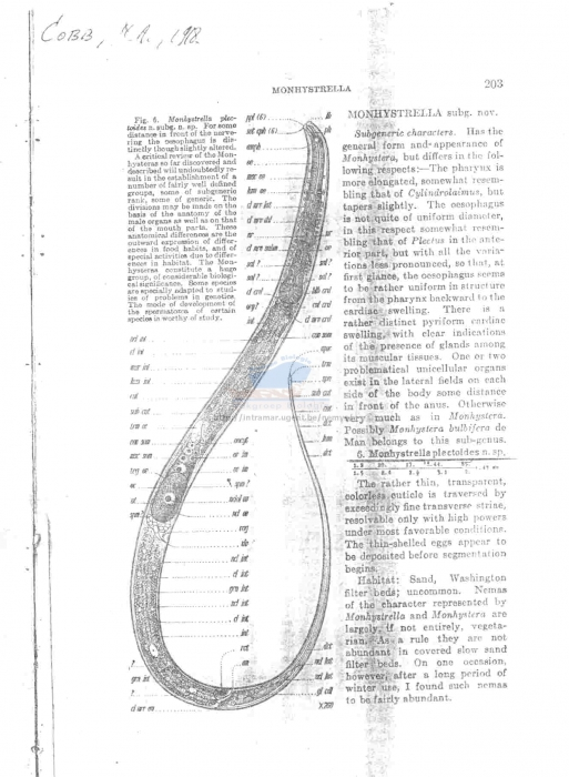 Monhystrella plectoides