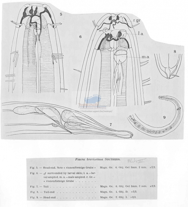 Eusynonchus brevisetosus