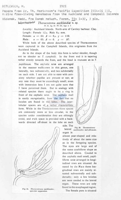 Deontostoma aucklandiae
