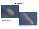 Gromia oviformis and Gromia elongata
