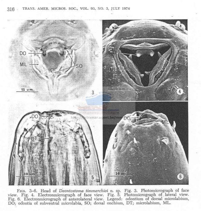 Deontostoma timmerchioi