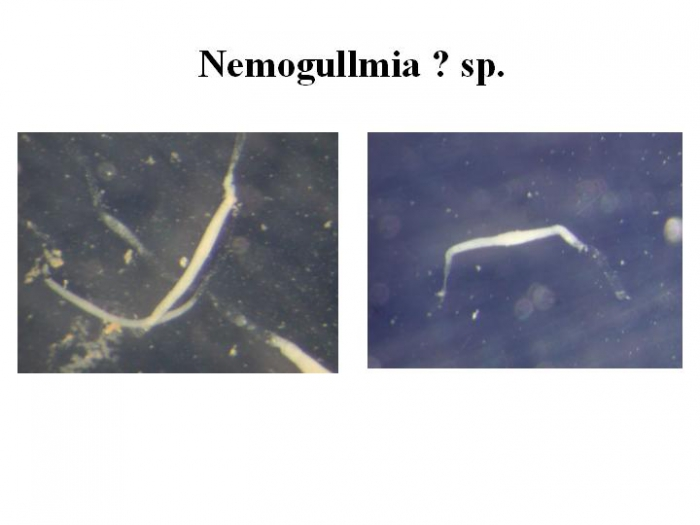 Nemogullmia