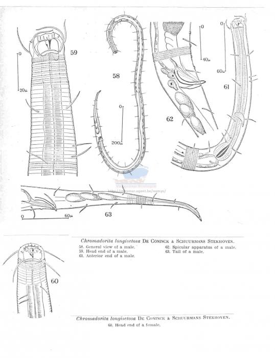 Chromadorina longisetosa