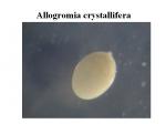 Allogromia crystallifera