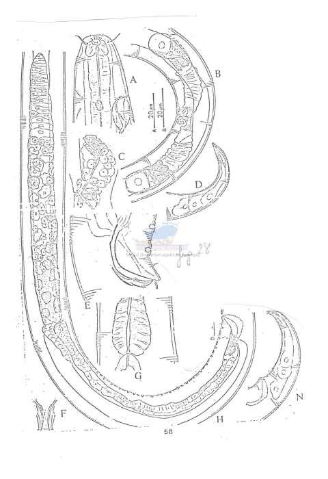 Chromadorina longispiculum