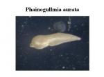 Phainogullmia aurata