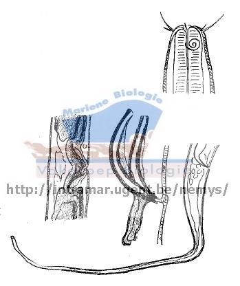 Parasabatieria longicaudata