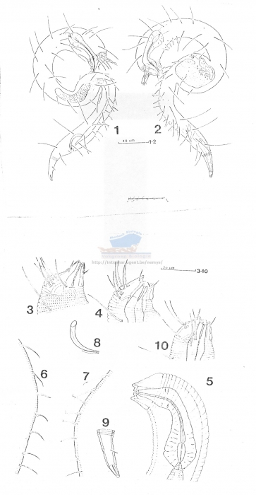 Dracognomus tinae
