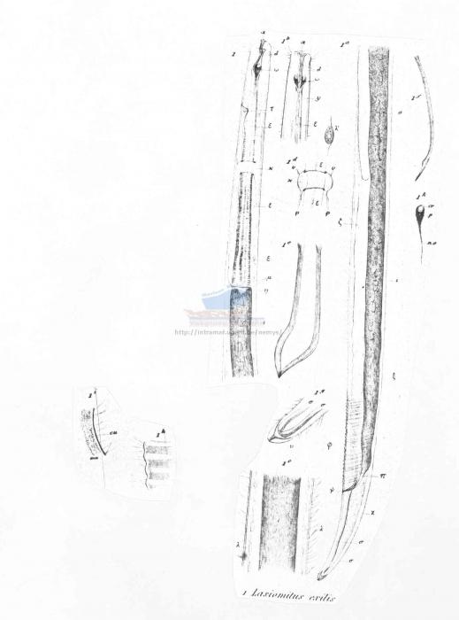 Symplocostoma exilis