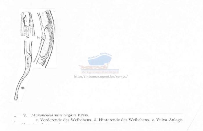 Viscosia elegans