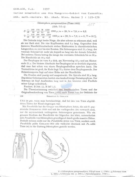 Odontophora paragranulifera