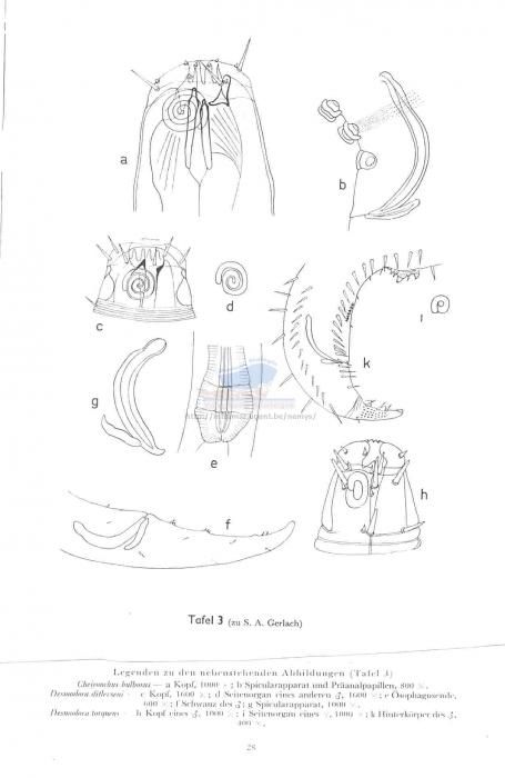 Croconema torquens