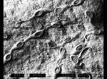 Pyripora catenularia