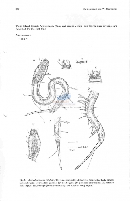 Apenodraconema chlidosis