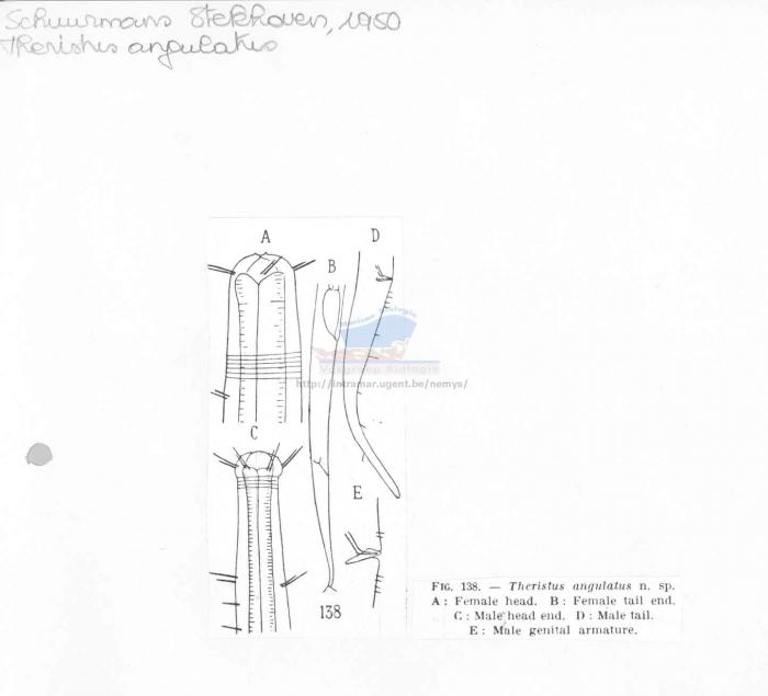 Daptonema angulatus
