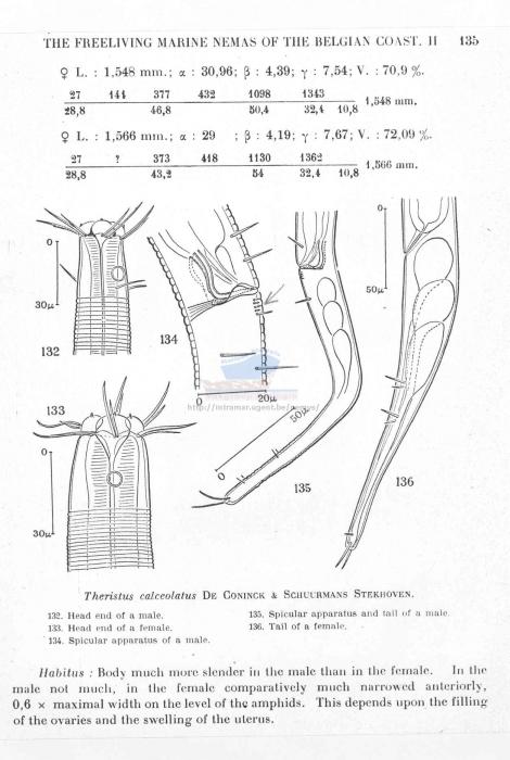 Daptonema calceolatus