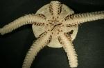 Ophiocten sericeum