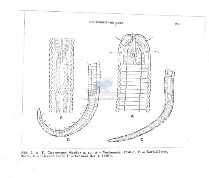 Dasynemoides rhombus