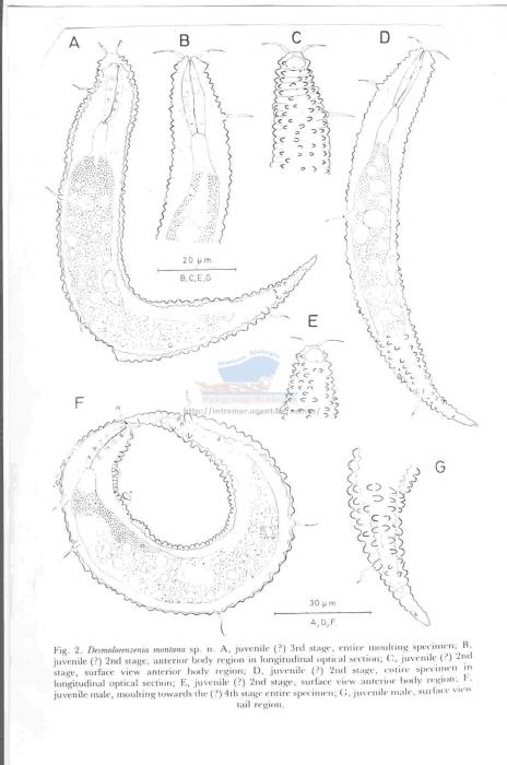 Desmoscolex (Desmolorenzenia) montana