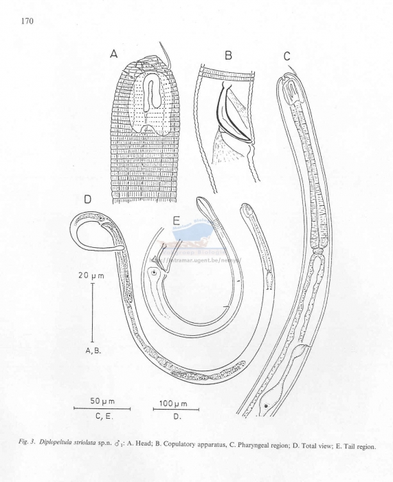 Diplopeltula striolata