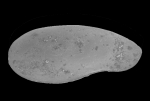Ostracoda (seed shrimp)