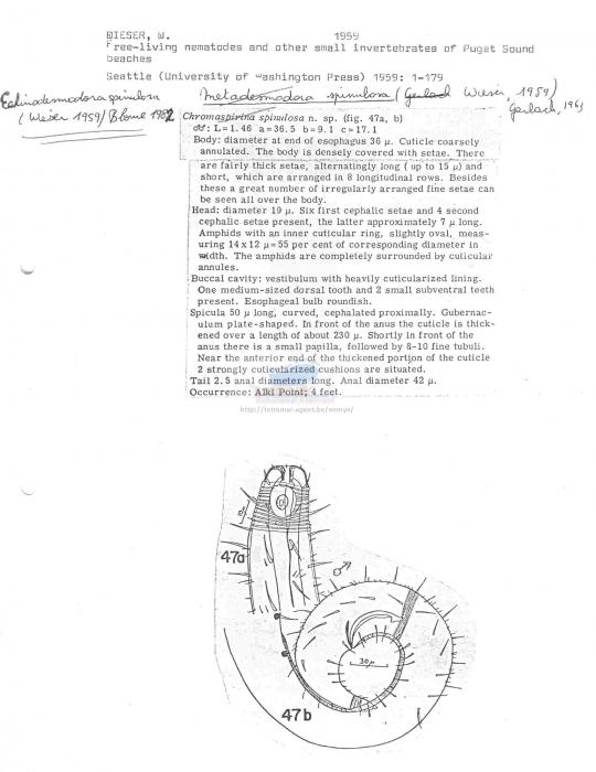 Echinodesmodora spinulosa