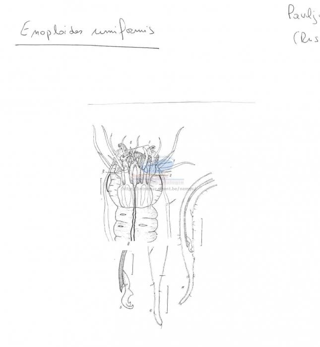 Enoploides uniformis