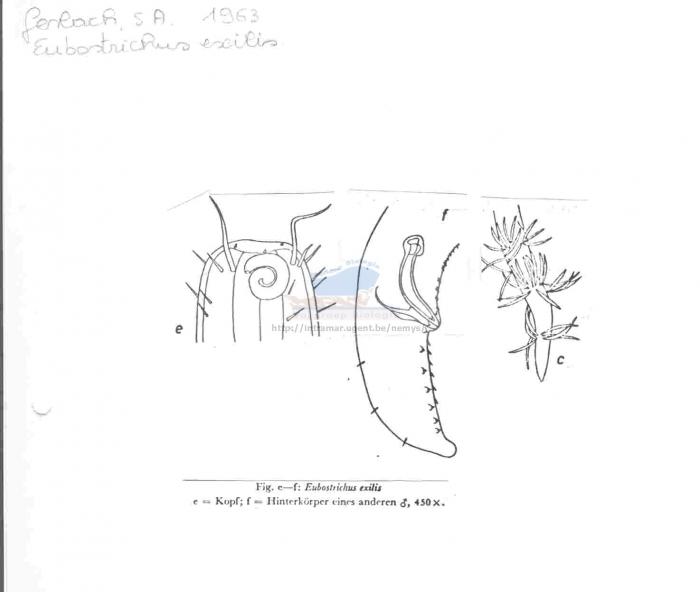Eubostrichus gerlachi