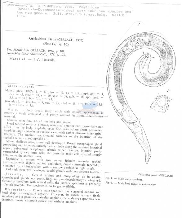 Gerlachius lissus