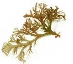 Callophyllis cristata