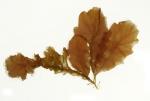Phycodrys rubens