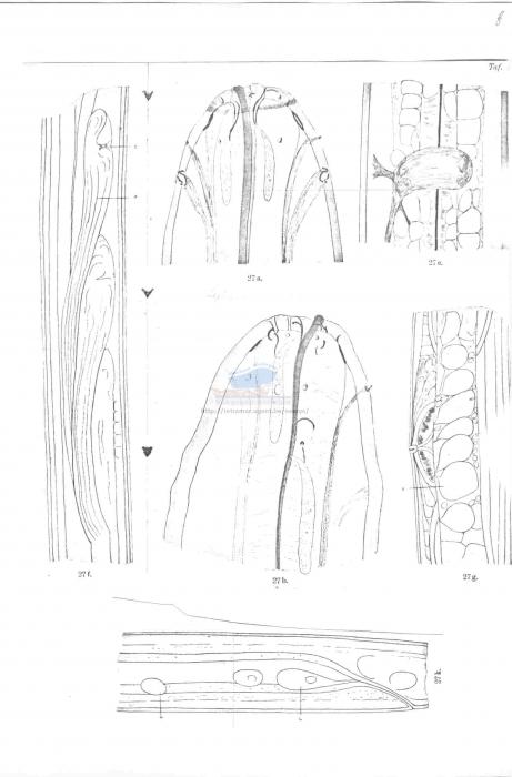 Leptosomatides gracile