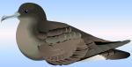 Sooty shearwater